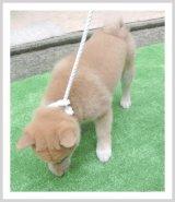 柴犬専用リード