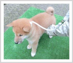 画像2: 柴犬専用リード